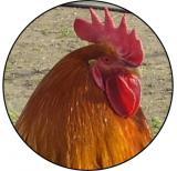 Kohout MINI logo L1č.176
