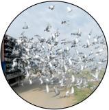 Poštovní holubi MINI logo L1č.192
