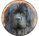 Novofundladský pes MAXI logo L2č.201